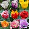 trepenite tulipany smes barev mix 3