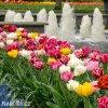 plnokvete tulipany smes mix 2