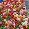 plnokvete tulipany smes mix 3