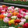 plnokvete tulipany smes mix 4