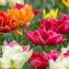 plnokvete tulipany smes mix 5