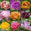 plnokvete tulipany smes mix 6