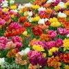 plnokvete tulipany smes mix 1