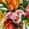 Tulipan parrot smes 2