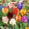 Tulipan parrot smes 4