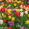 tulipan darwinuv smes barev mix 2