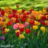 tulipan darwinuv smes barev mix 3