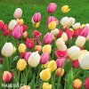 tulipan darwinuv smes barev mix 6