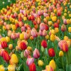 tulipan darwinuv smes barev mix 1
