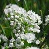 bily cesnek allium neapolitanum 2