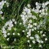 bily cesnek allium neapolitanum 3