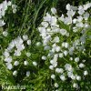 Česnek Allium Neapolitanum 3