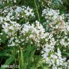 bily cesnek allium neapolitanum 5