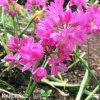 Česnek Allium Oreophilum 4