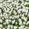 bily tulipan antarctica 2