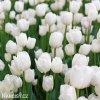 bily tulipan antarctica 3