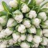 bily tulipan antarctica 5