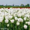 bily tulipan antarctica 6