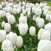 bily tulipan antarctica 7