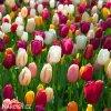 Tulipán Triumph směs 2