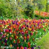 Tulipan Triumph smes 3