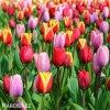 smes tulipanu triumph mix 5