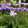 sasanka anemone blanda mix 4