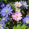 sasanka anemone blanda mix 1