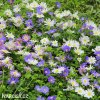 sasanka anemone blanda mix 2