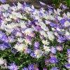 sasanka anemone blanda mix 3