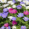 sasanka anemone blanda mix 5