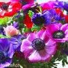 sasanka anemone de caen mix 2
