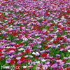 sasanka anemone de caen mix 3
