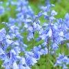 hyacintovec spanelsky hyacinthoides hispanica 3