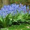 hyacintovec spanelsky hyacinthoides hispanica 4
