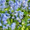 hyacintovec spanelsky hyacinthoides hispanica 6