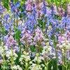 hyacintovec spanelsky smes hyacinthoides hismanica mix 3