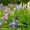 hyacintovec spanelsky smes hyacinthoides hismanica mix 4