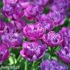 fialovy plnokvety tulipan blue diamond 2