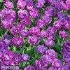 fialovy plnokvety tulipan blue diamond 3