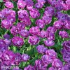 Tulipany Blue Diamond 3