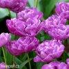 fialovy plnokvety tulipan blue diamond 4