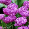 Tulipany Blue Diamond 4