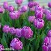 fialovy plnokvety tulipan blue diamond 5