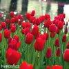 cerveny tulipan triumph ile de france 5