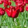 cerveny tulipan triumph ile de france 6