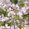 Allium Roseum 3