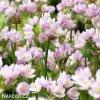 Allium Roseum 4