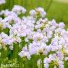 ruzovy cesnek allium roseum 5