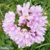 Allium Roseum 1